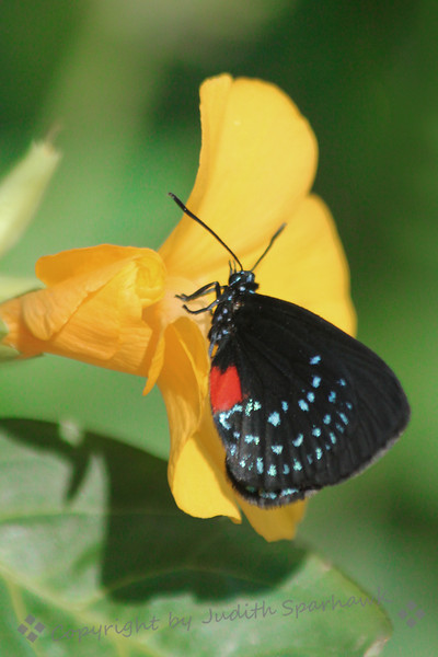 Atala Hairstreak on Yellow ~ This little butterfly has wonderful colors and patterns on its wings.  I liked it against the yellow flower.
