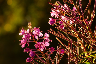 Fireweed Lined with Gold July 2013, Cynthia Meyer, Tenakee Springs, Alaska