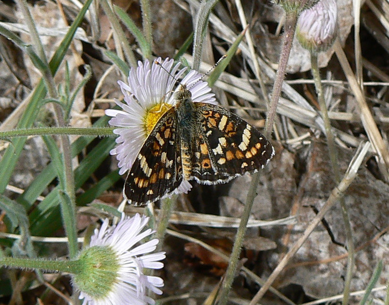 DM1PtdCres33 April 16, 2007, 1:33 p.m.   P1010033 Painted Crescent, Phyciodes picta S. E. Arizona