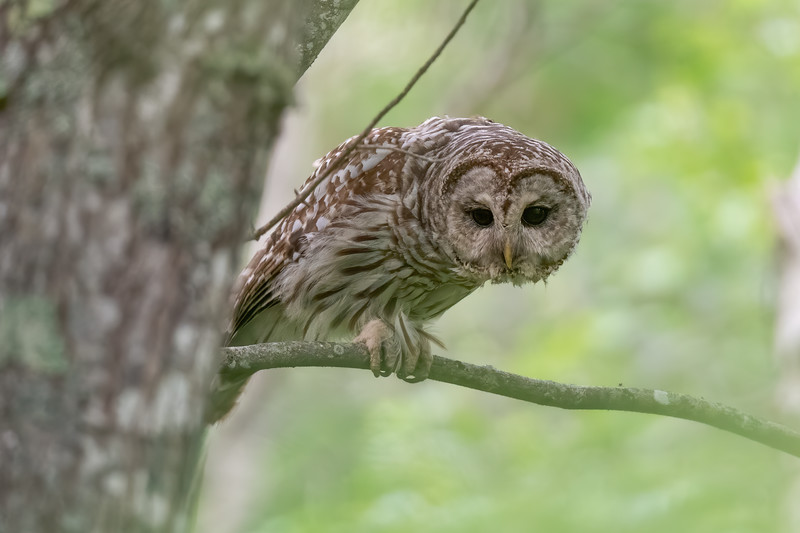 #1477 Barred Owl