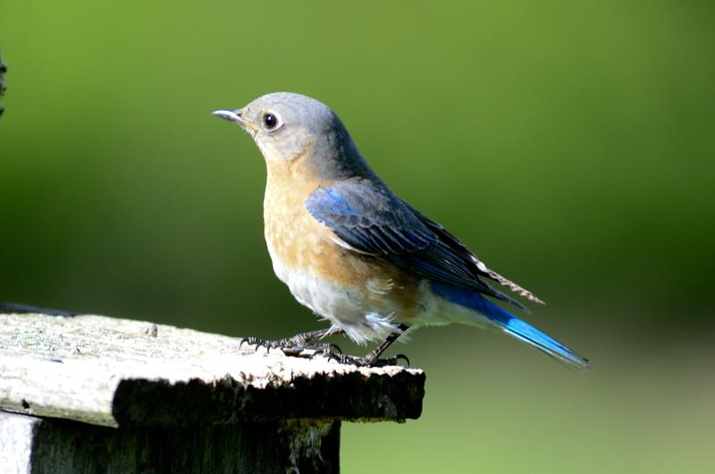ryle-irwin-bluebird-vienna-va-blue-tail.jpg