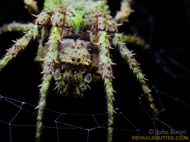 Lichen camouflaged orb weaving spider