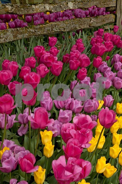 Tulips 5356.jpg