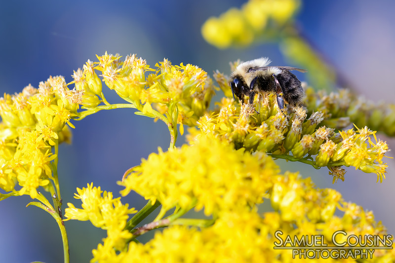 A macro of a bee climbing on goldenrod flowers.