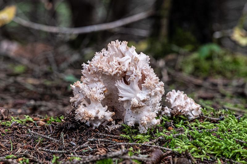 frilly fungus Cape Breton Highlands National Park.jpg