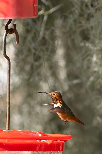 hummingbird-9866.jpg