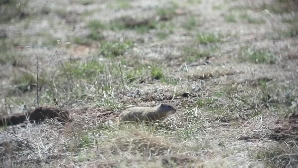 Richardsons Ground Squirrel 04-09-2020