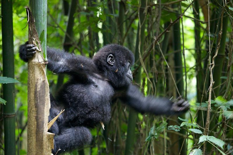 Gorillas  8417.jpg