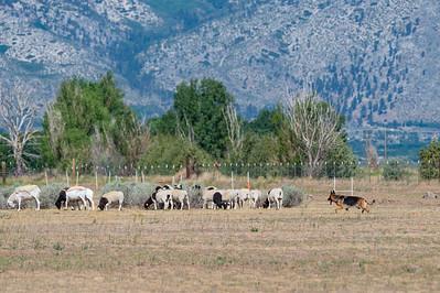 GSDC of Reno AKC Herding Trials June 5 2020