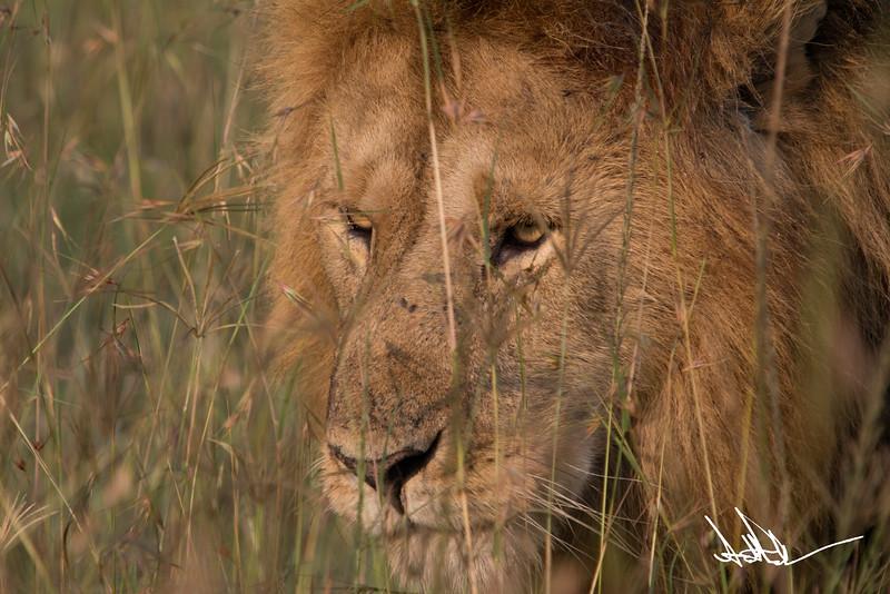 Lions Masai Mara - S-3.jpg