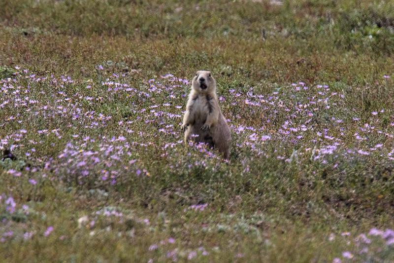 Prairie Dogs Grasslands 2019-6.jpg