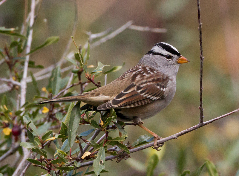 White-crowned Sparrow Lee Vining Canyon  2014 09 19 (1 of 5).jpg