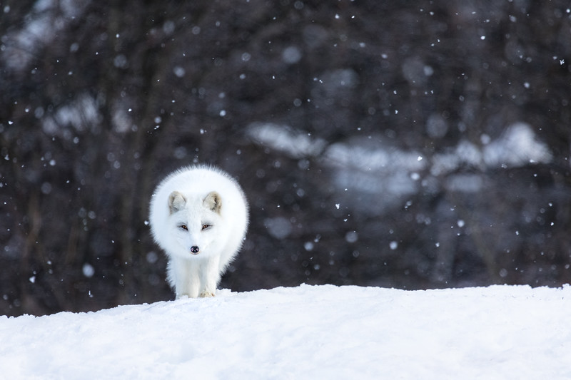 Arctic Fox Omega 2.jpg