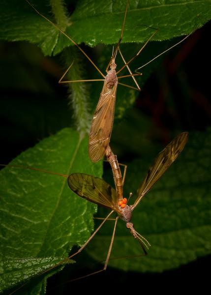 Crane Flies Mating - 8-25-18.jpg