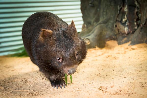 Wombat Arrival