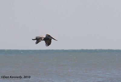 Pelicans & Allies