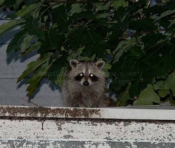 Young Raccoon 07-17-12