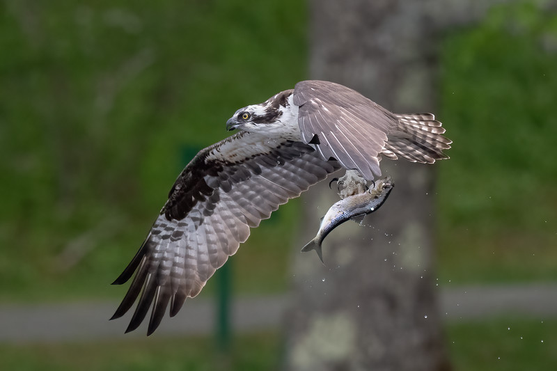 #1625 Osprey