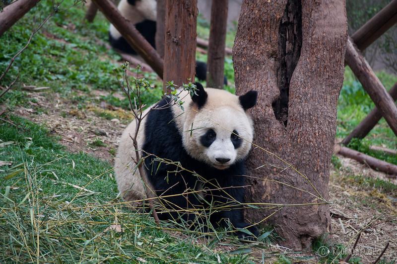 Cup_Panda_Chengdu_Sichuan_China2.jpg