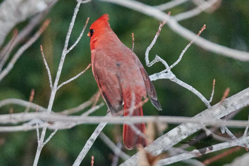Northern Cardinal_2018-12-09_3