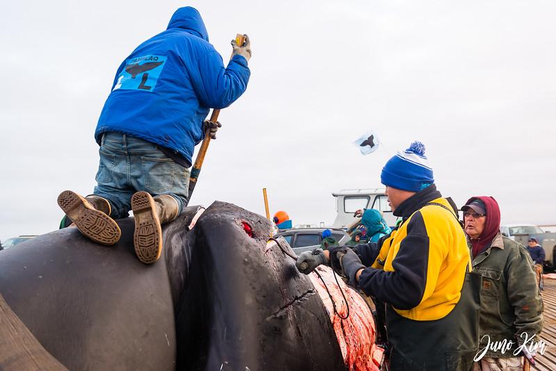 Utqiagvik Whaling-6104850-Juno Kim.jpg