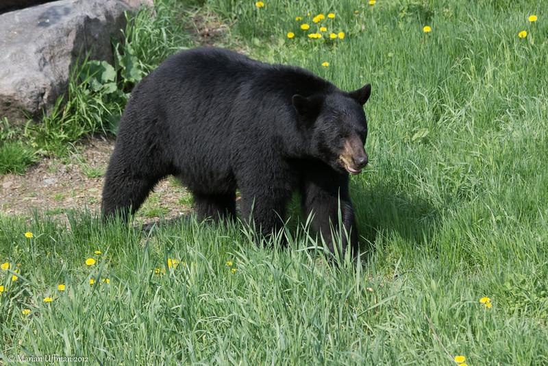20120519-_MG_5576Black_Bears.jpg