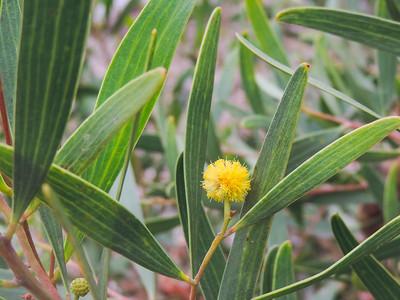 Cylops Acacia (Acacia cyclops)