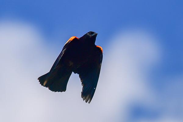 6-19-18 Red-winged Balck Birds