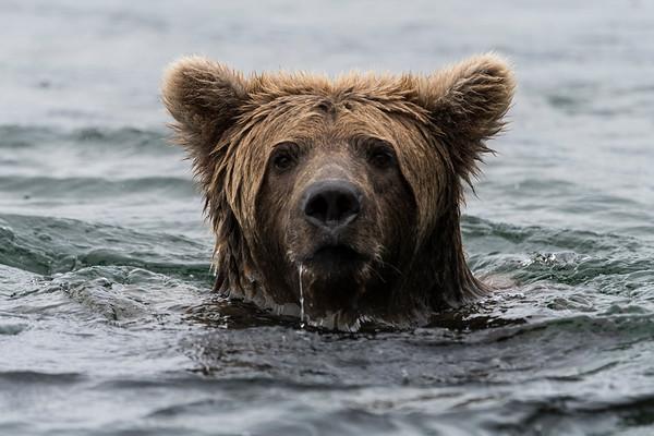Katmai Grizzly Bears 2017