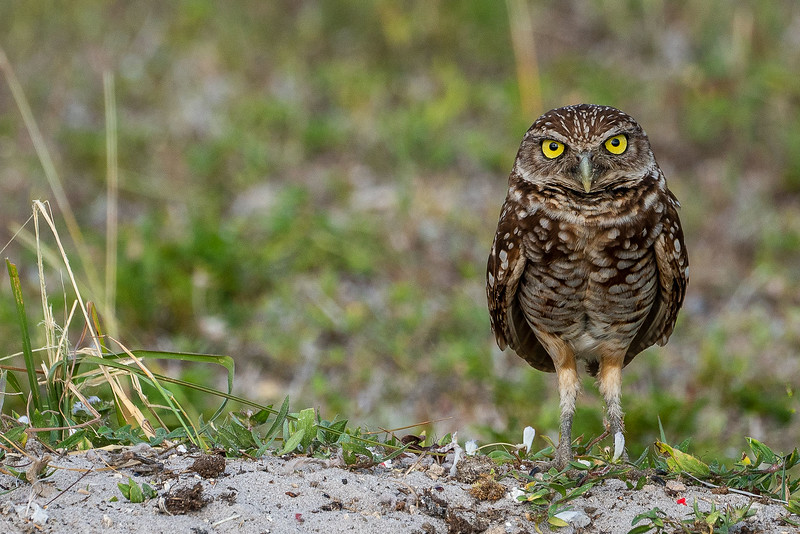 DA079,DP,Burrowing owl.jpg