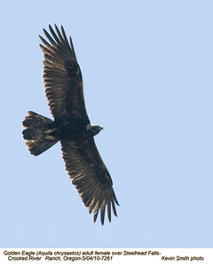 Golden EagleF7261.jpg