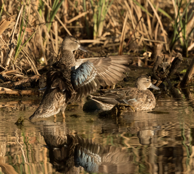 Blue-winged Teal  Aviara 2016 12 01-2.CR2
