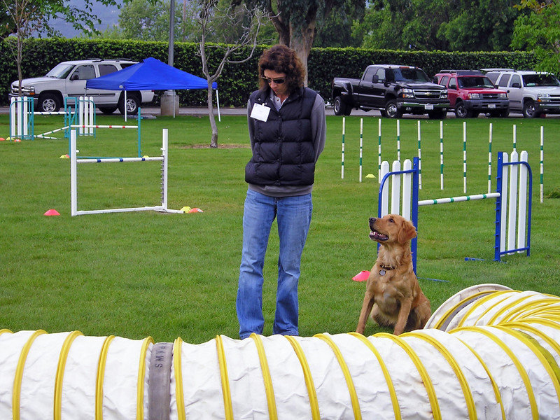 Golden Retriever Chase and Sue with dog agility tunnel
