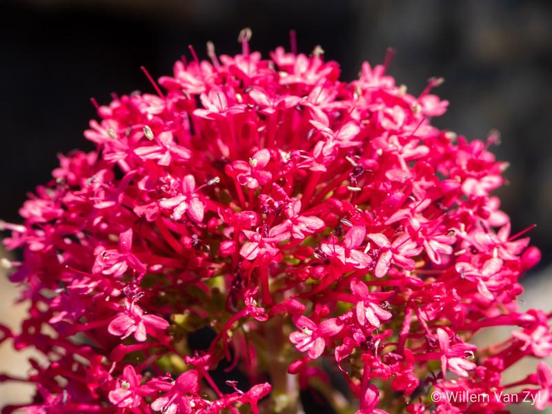 Unidentified Pink Flowers