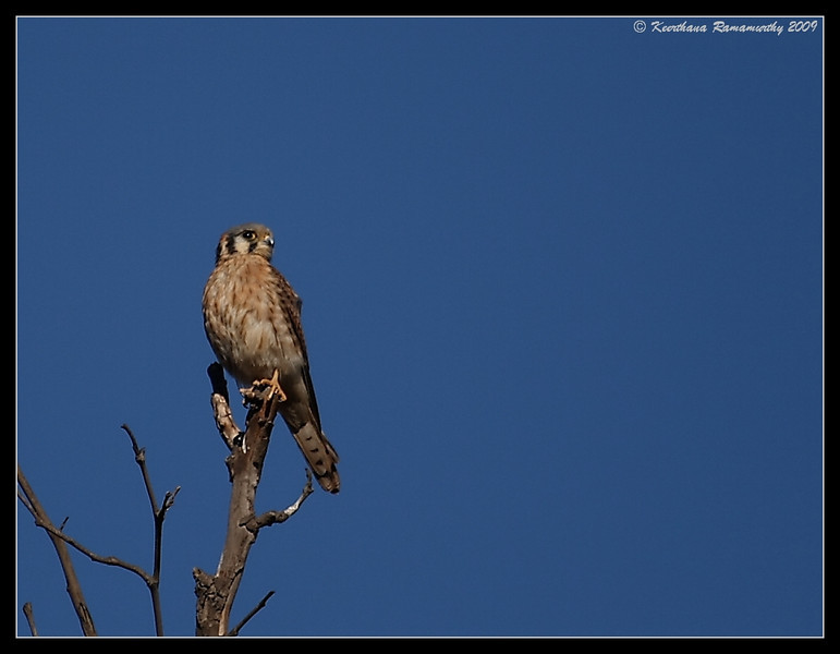 American Kestrel, Old Mission Dam, Mission Trails Regional Park, San Diego County, California, November 2009