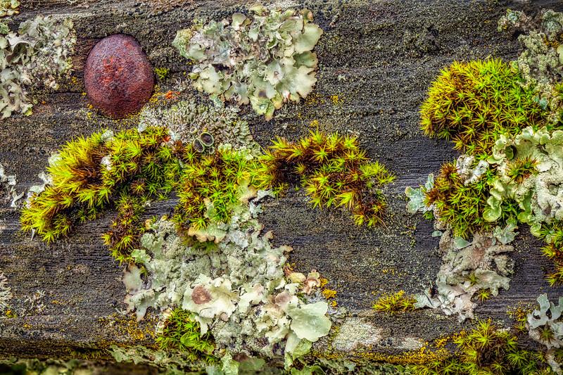 Lichen on Board, Saratoga, California, 2010