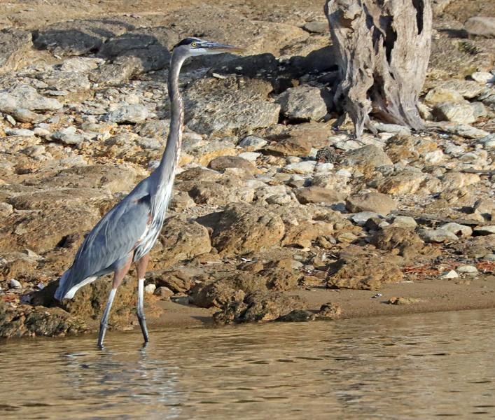 heron on the beach.jpg