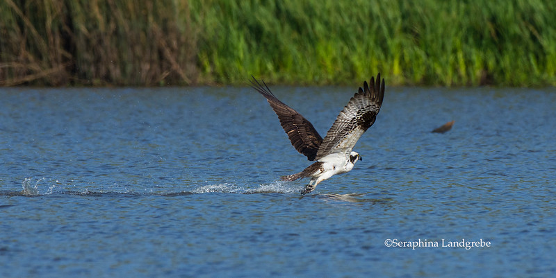 _DSC3279Osprey Bathing b.jpg