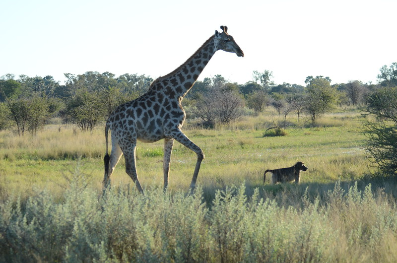 66 - Giraffe and Baboon - Chitabe - Anne Davis
