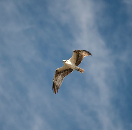 Ospreys of Hutchinson Island