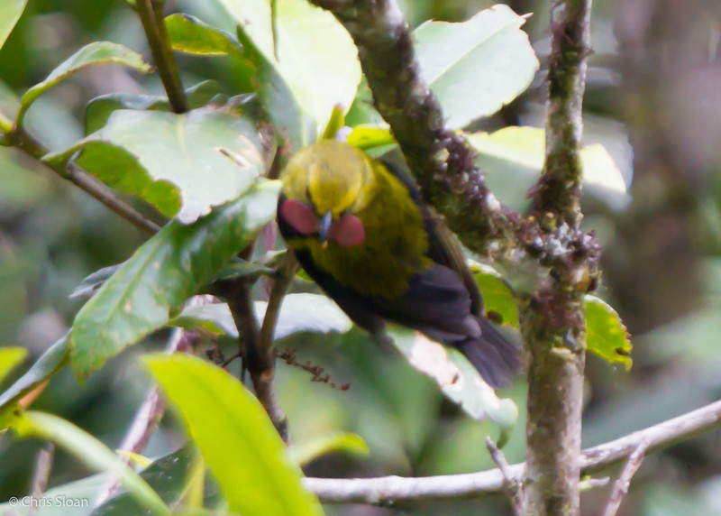 Wattled Ploughbill male at King-of-Saxony Trail, Enga Province, Papua New Guinea (10-01-2013) 010-40.jpg
