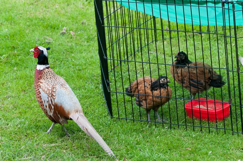 Unsere beiden grossen Hühner bekommen oft Besuch von einem Fasan. Der ist schon fast zahm!
