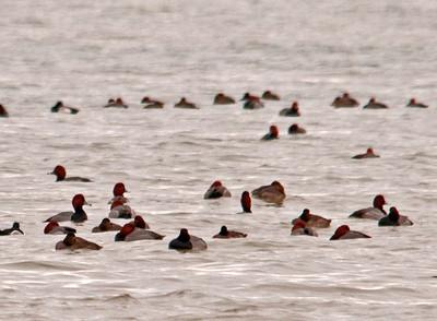 Duck - Redhead