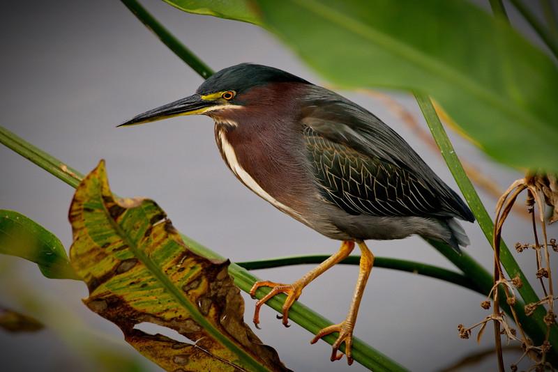 Boynton Beach, Florida, Green Cay Wetlands, Green Heron