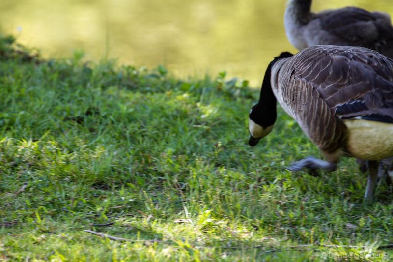 Canada Goose walking