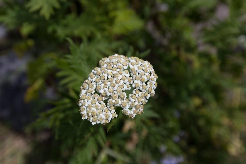 Becho, Duizendblad, Achillea Millefolium