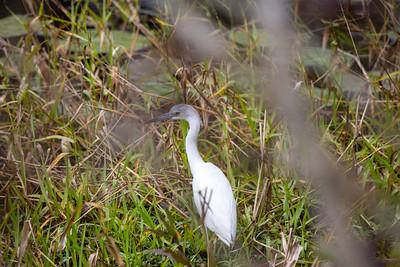 2021-02-07 Sarasota Egret