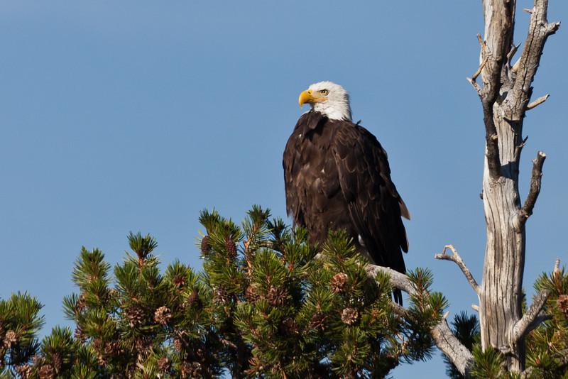 Bald eagle, Yosemite NP