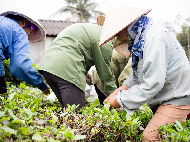 Things to do in Vietnam-Visiting the tea fields in Thai Nguyen