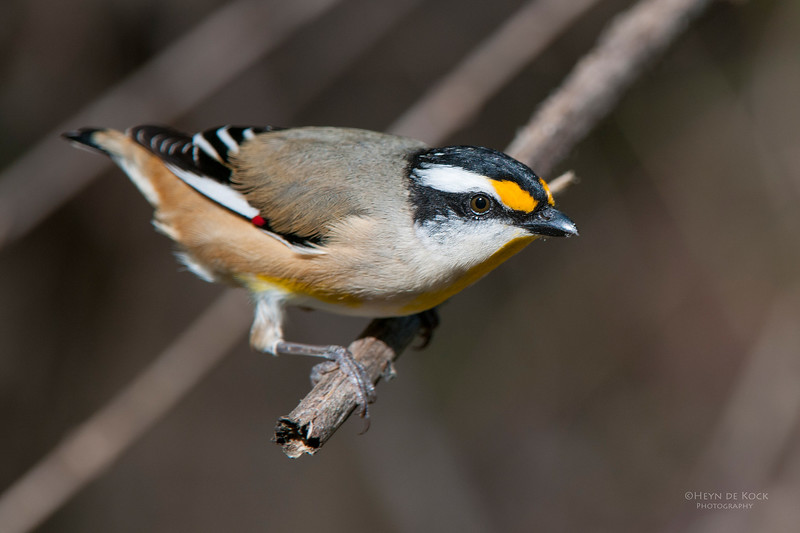 Striated Pardalote, D'Anguilar NP, May 2011-2.jpg